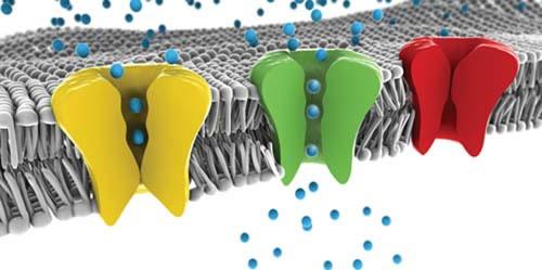 Поступление ионов кальция внутри клеток