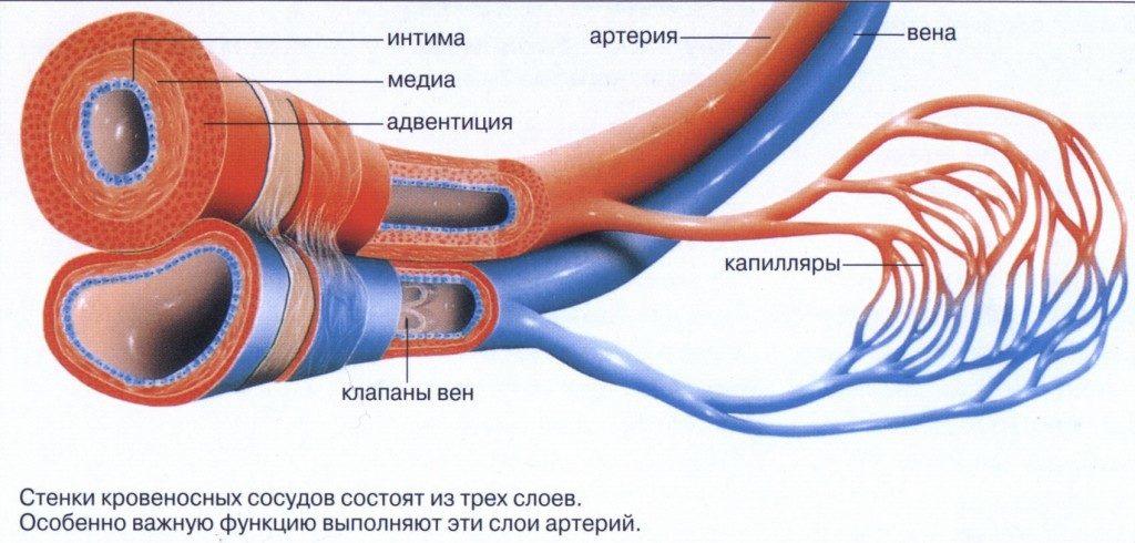 Укрепление венозного тонуса артерий