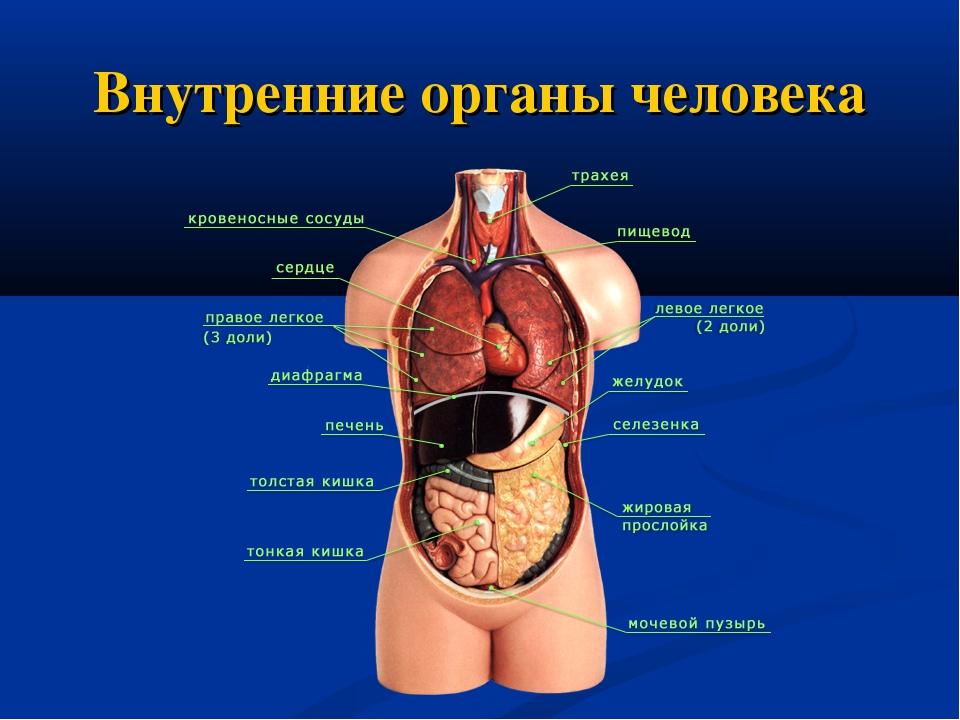 Организм человека схема внутренние органы фото с надписями мужчине