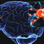 Мозг посылает в периферические отделы тела сигналы о снижении АД и о недостатке кислорода