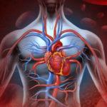 Налаживает работу всей сердечнососудистой системы