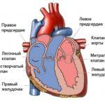 Наполняется левый желудочек