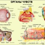 Система органов чувств