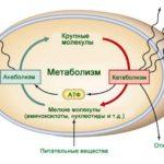 Стабилизация белкового и жирового метаболизма