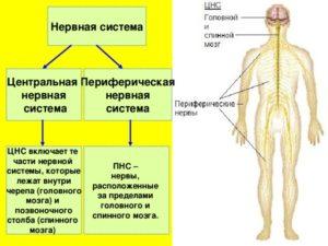 Центральная и периферическая нервная система